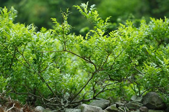 Ampelopsis Grossedentata க்கான பட முடிவு